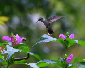 1st place Hummingbird Other Than at Feeder Photo by Bena Travis