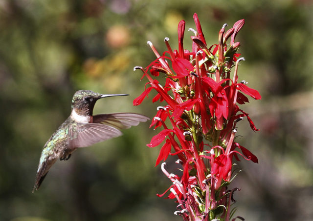 2nd place Hummingbird Other than at Feeder 1st place People's Choice Photo by Robert Smith