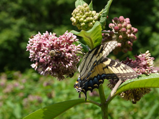 The Eastern tiger swallowtail butterfly and a bee feed on a common milkweed plant in one of our fallow wildlife planting