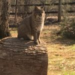 New Nature Station Bobcat