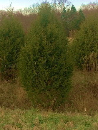 Image Christmas Tree Free.Land Between The Lakes Offers Free Cedar Christmas Trees