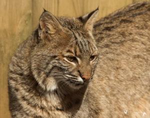 Bobcat at Woodlands Nature Station